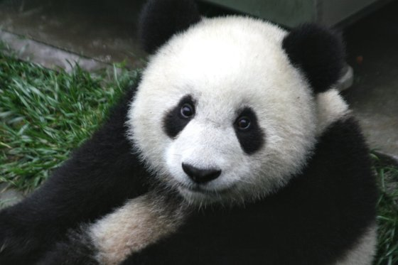 Local Food And Wine climate change and wine and conservation giant-panda-cub-china4