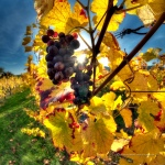 Wine and Climate Change raisin-vigne-climat_Laures