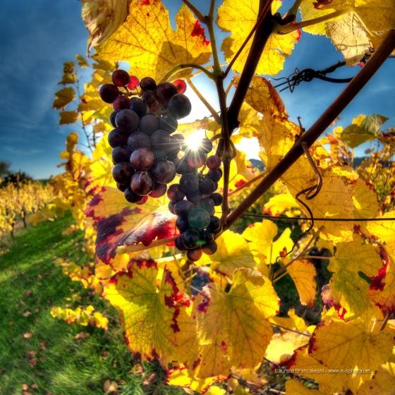 Wine and Climate Change raisin-vigne-climat_Laures