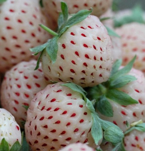 local food and wine white strawberries fraise-ananas